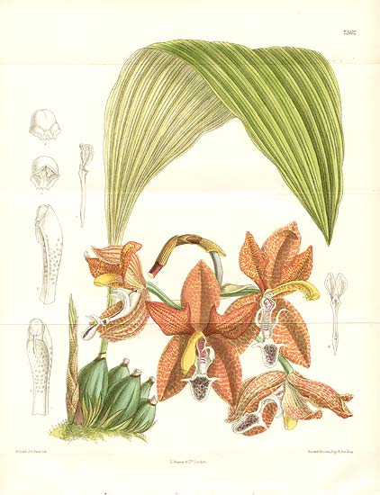 Houlletia landsbergii lithograph by Curtis; now Hlt. tigrina