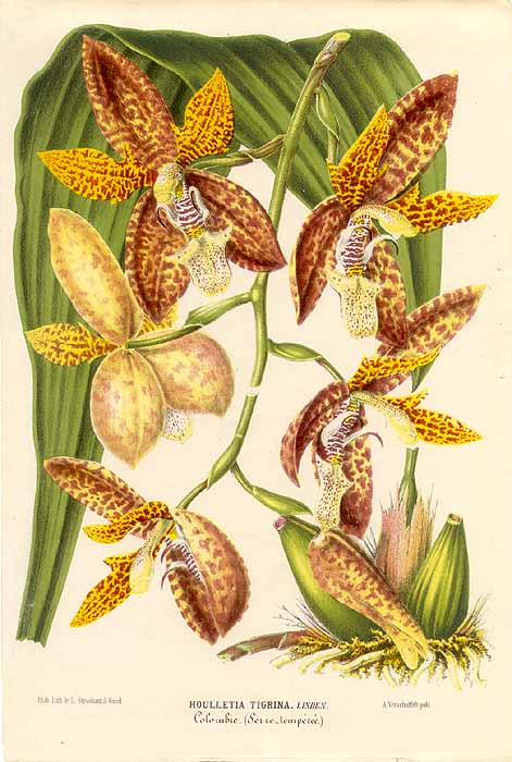 Houlletia tigrina litho from L'Illustration Horticole, 1860's
