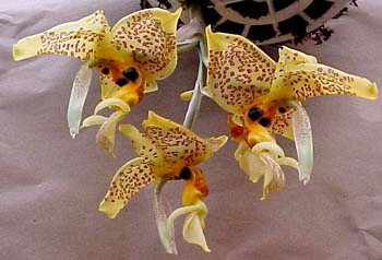 Stanhopea Ronsard photo from E.F.G. Orchids