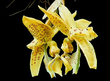 Stanhopea costaricensis by Troy Meyers