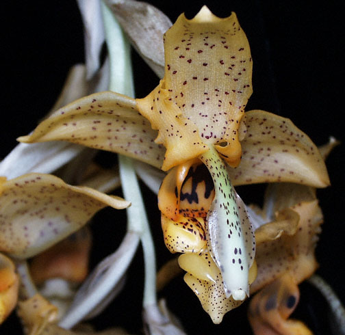 Photo of Stanhopea florida flower by Troy Meyers