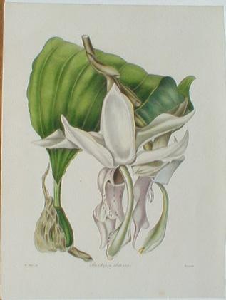 magnolia grandiflora pruning