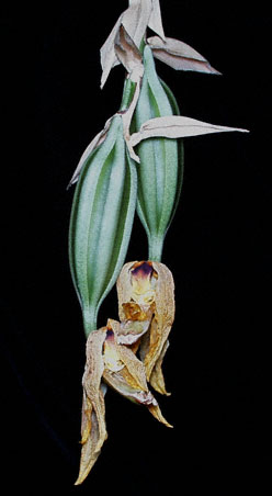 Stanhopea greerii pods; photo by Troy Meyers