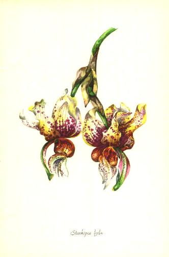 1958 watercolor of a stanhopea hybrid