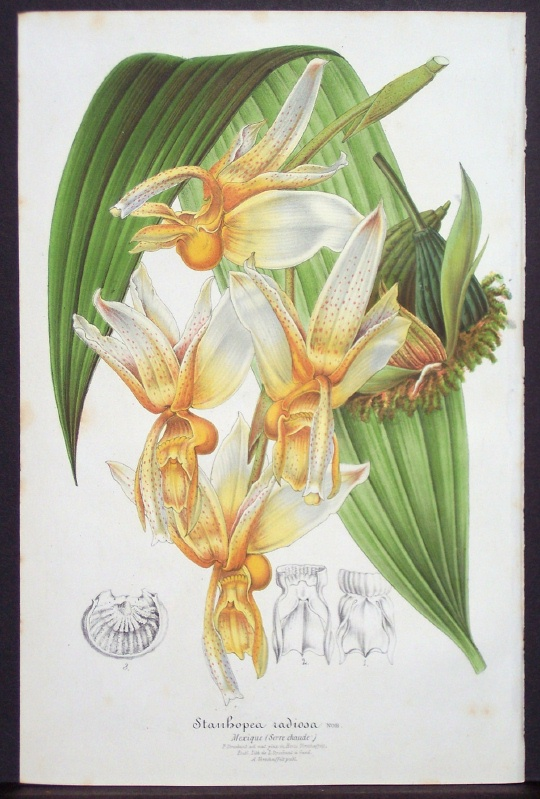 19th C lithograph of Stanhopea radiosa